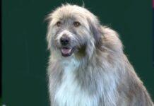 il-cane-durante-la-mostra-canina-decide-di-fare-di-testa-sua
