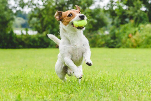 cane gioca con pallina