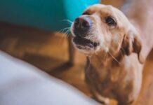 cane che abbaia davanti a divano