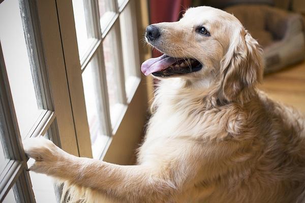 Come insegnare al cane ad abbaiare quando qualcuno è alla porta