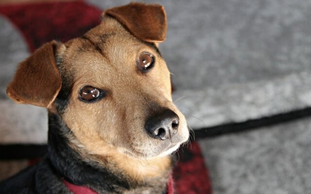cane marrone guarda verso di noi