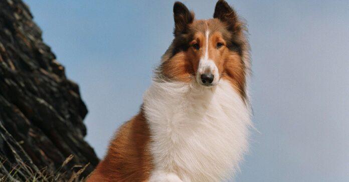 cane lassie