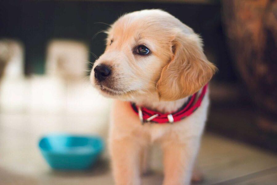 cucciolo di cane con collare rosso