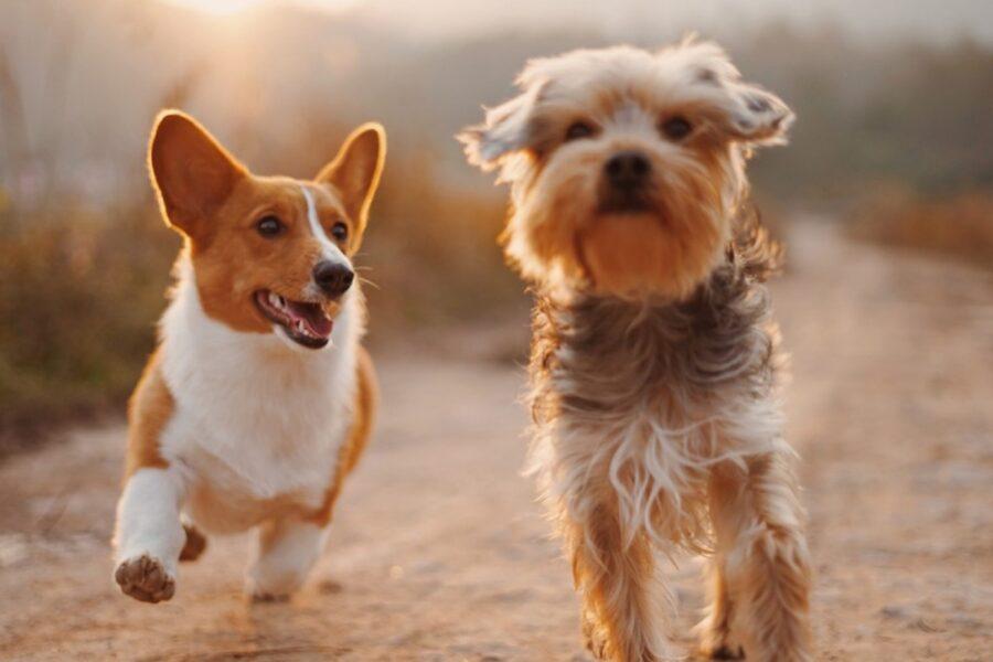 cani che corrono insieme