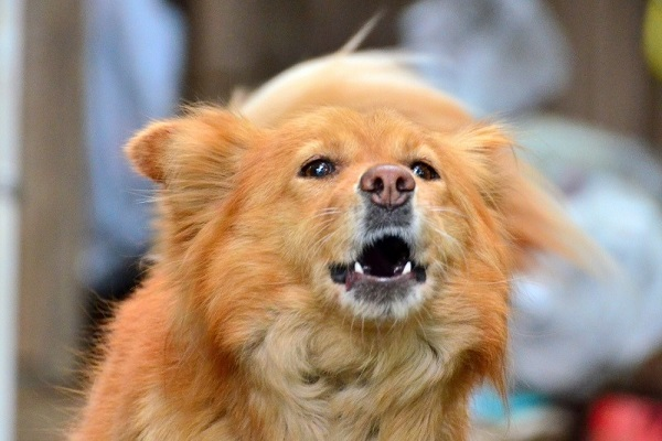 cane mentre abbaia