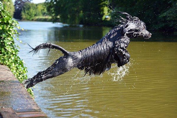 cane acquatico portoghese