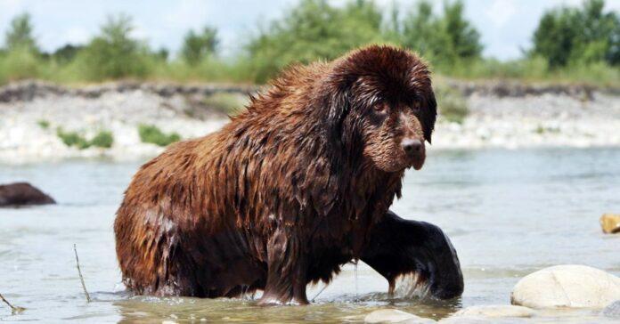 cane terranova in acqua