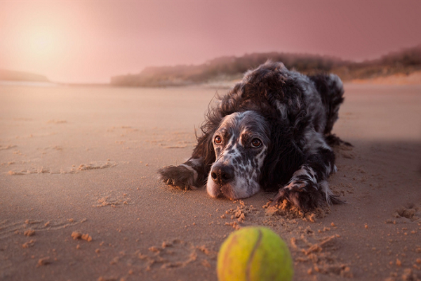 cane setter in spiaggia