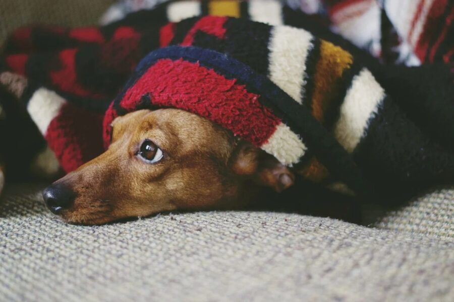 cane sotto la coperta