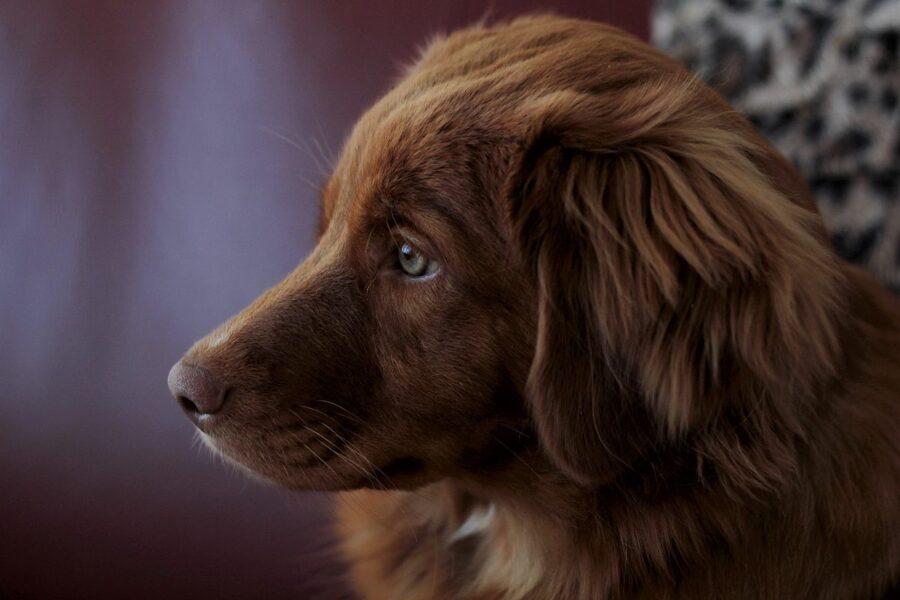 cane bellissimo marrone