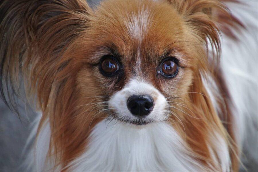 cane piccolo a pelo lungo