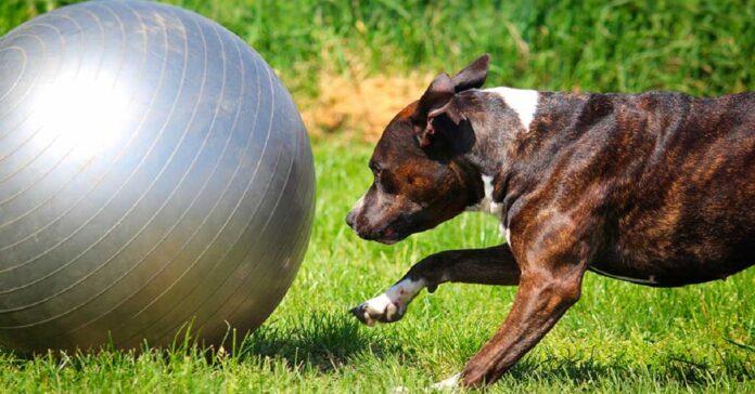 treiball cane sport
