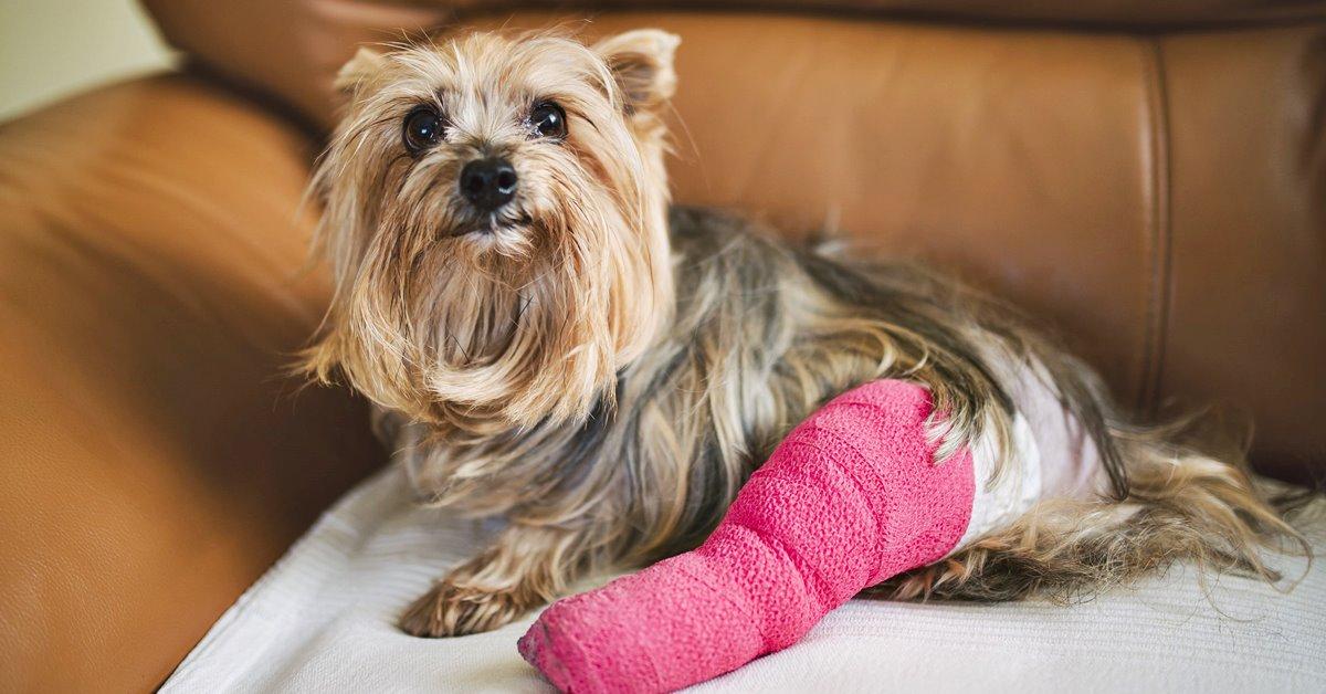 cane con la zampa fasciata
