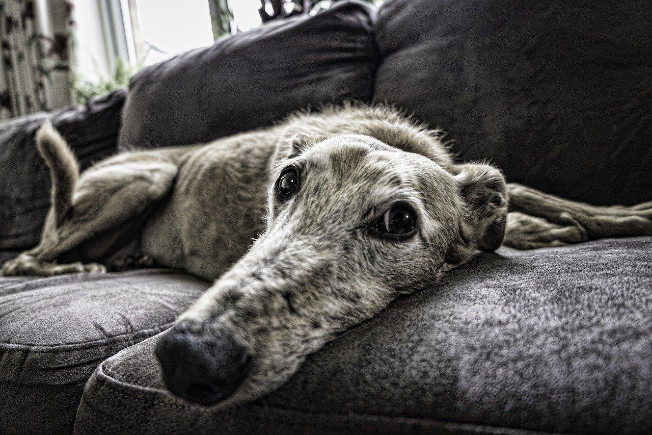 cane sguardo triste