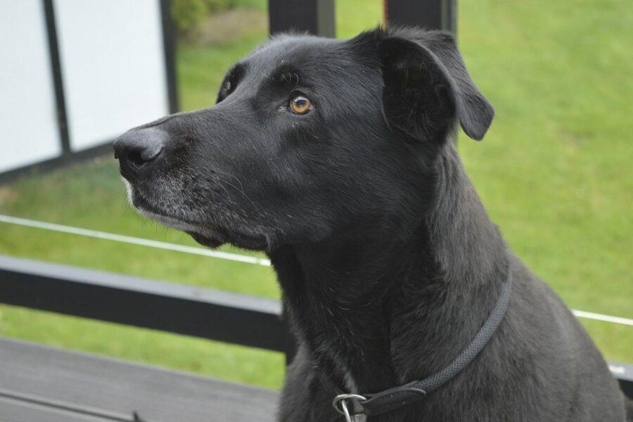 cane nero con il muso lungo