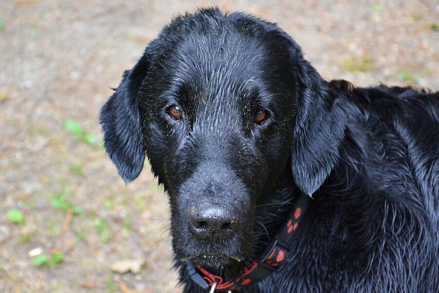 cane nero tutto bagnato
