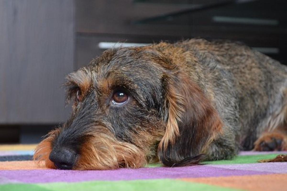 cane disteso sul tappeto