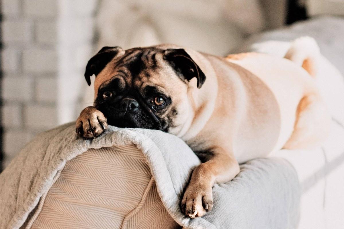 carlino sul divano
