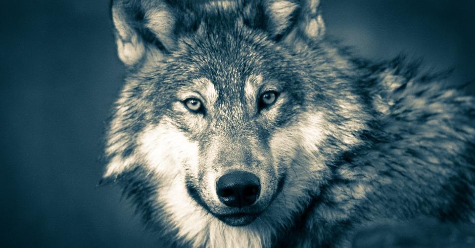 Ricordate Zanna Bianca? Ecco tutta la verità sulla storia del cane lupo