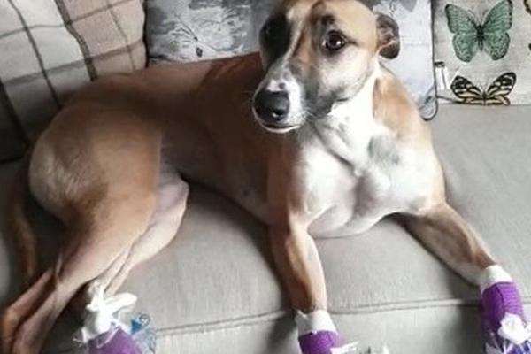 Cane con le zampe fasciate