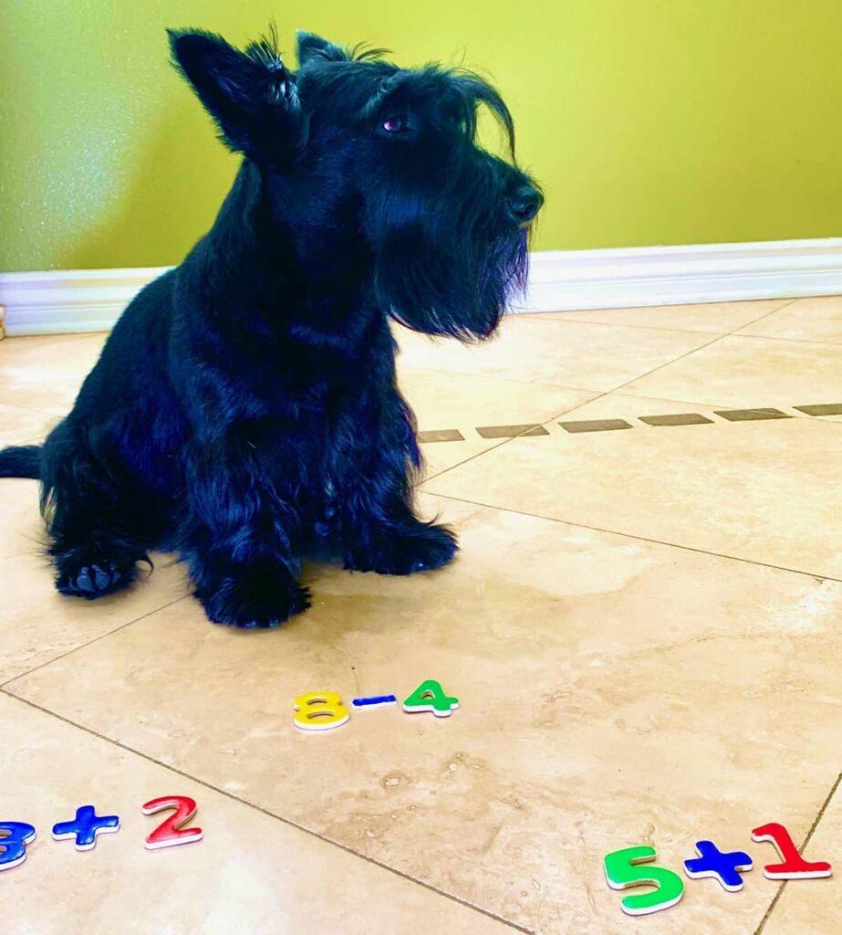Cane genio della matematica