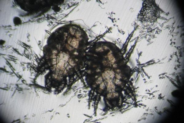 acaro del cane al microscopio
