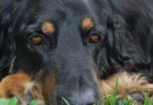 Enfisema nel cane
