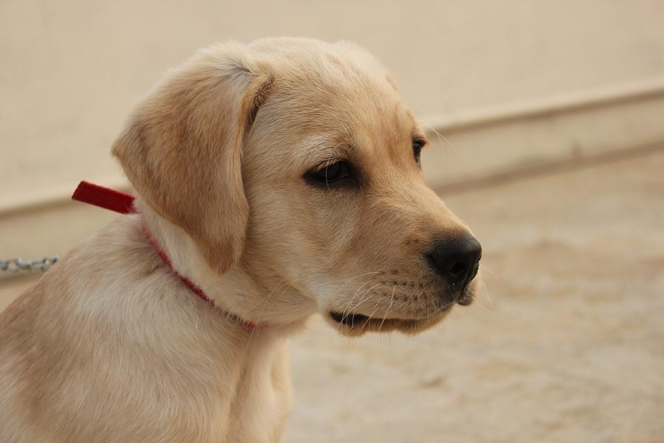 epatite cane