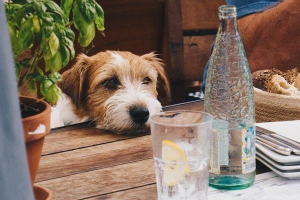 I cani possono bere il brandy o è nocivo?