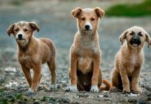 Tre cani randagi che osservano