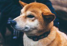 Infiammazione del disco cervicale nel cane