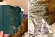 Cane che ha distrutto passaporto