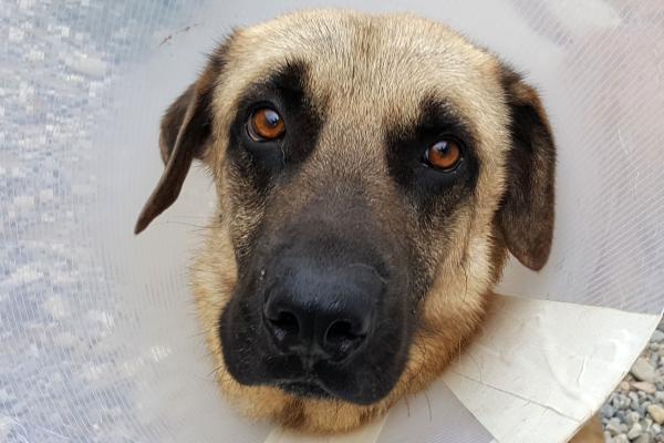 Lercanipidina per cani