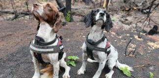Cani che osservano