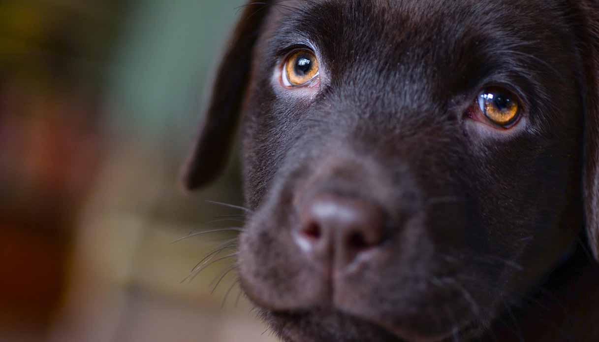Neurite ottica nel cane