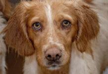 cane con papilloma