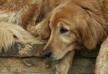 cane sofferente