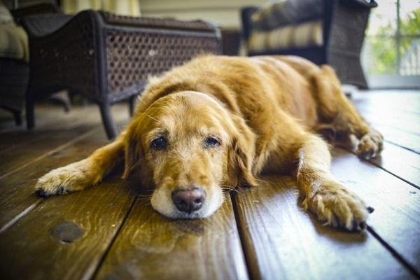 cane assonnato