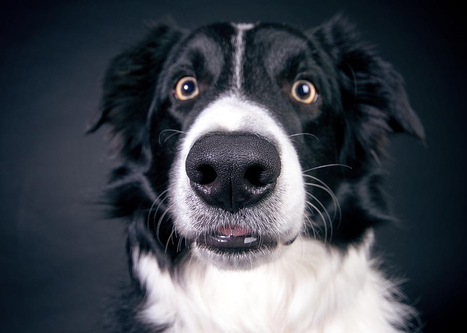 cane con naso grande