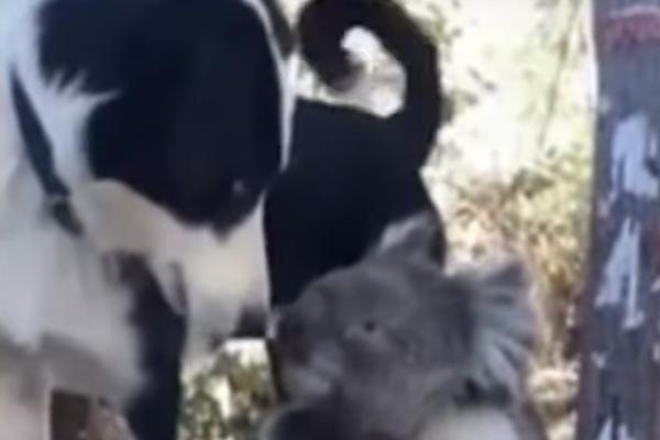 Cane con un koala