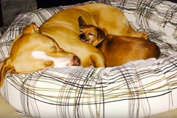 Due cani che dormono insieme
