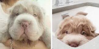 Cane che sembra un orsetto