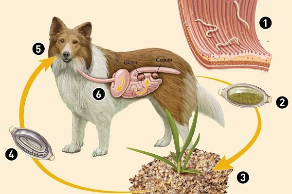 processo di infezione da tricocefali nel cane