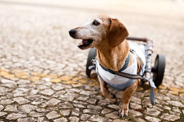 cucciolo di cane paralizzato
