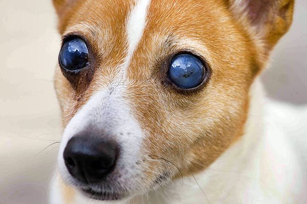 cecità del cane