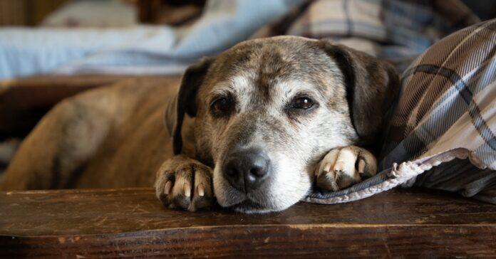 cane anziano ha bisogno di riposo