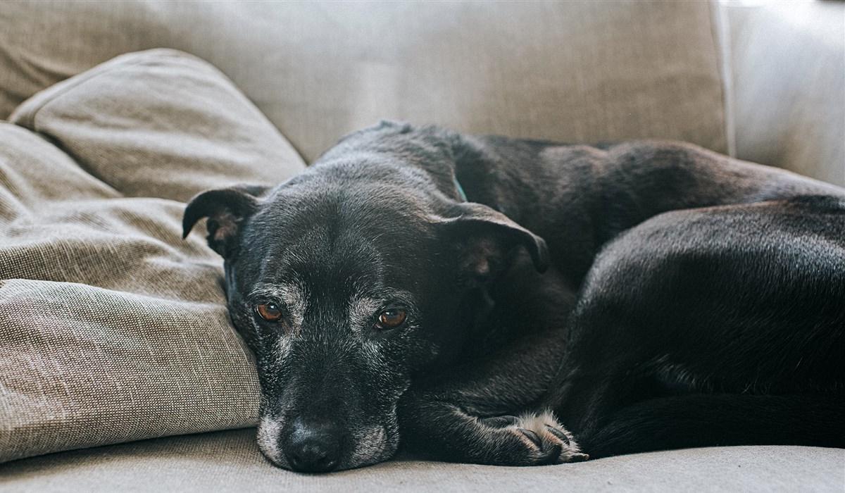 cane anziano che dorme sul divano