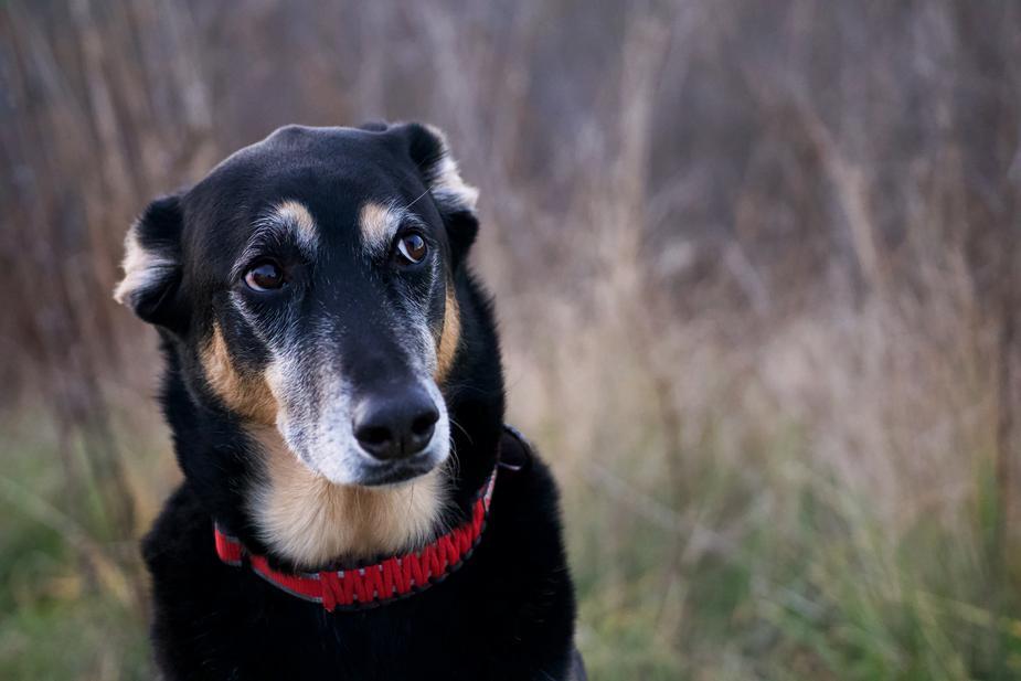 I cani possono mangiare il capriolo?