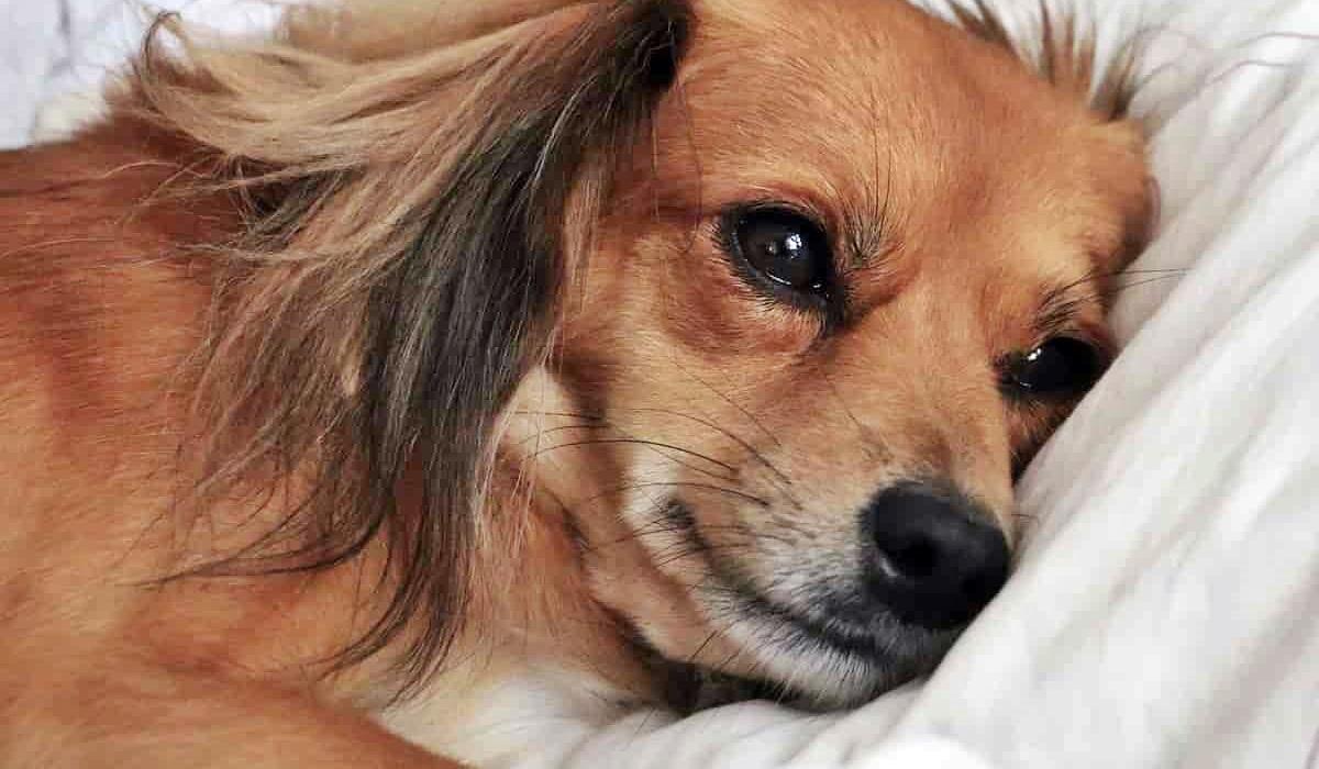 Il cane può mangiare lo zabaione?