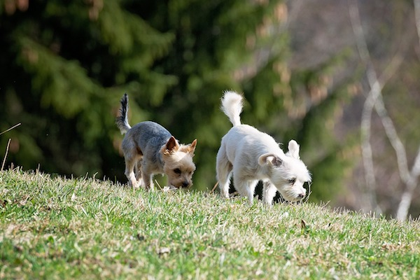 Cani che annusano